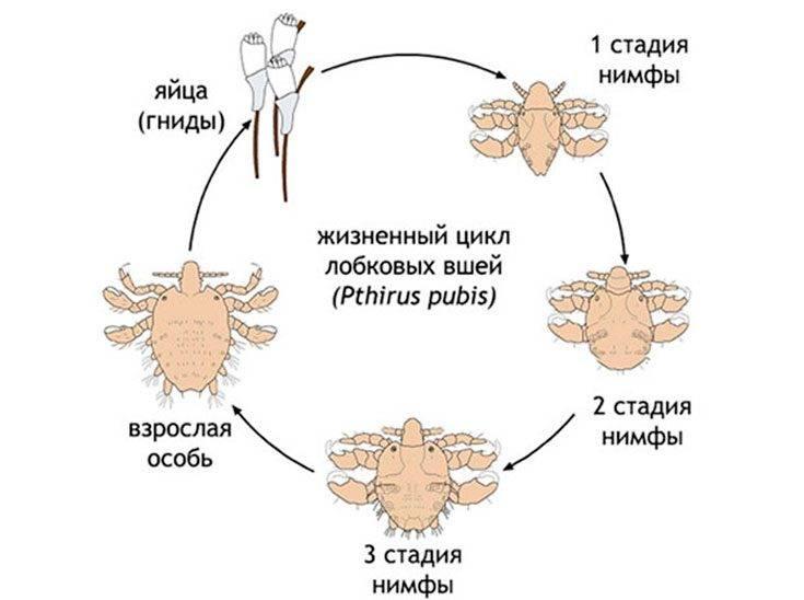 Инкубационный период вшей и гнид у человека