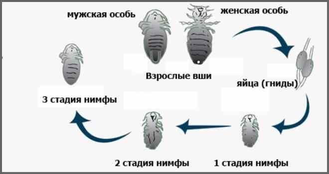 Особенности размножения вшей на голове у человека: как быстро распространяются паразиты и от чего зависит популяция?