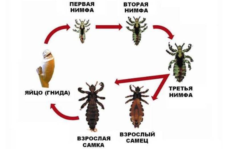 С какого возраста эктопаразиты начинают размножаться? сколько гнид откладывают вши за сутки?