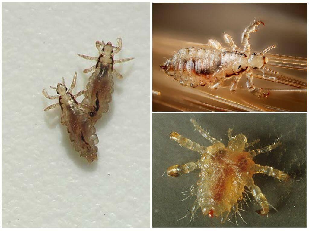 Жизненный цикл развития вшей и гнид: стадии развития педикулеза, развитие, размножение и образ жизни паразита